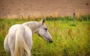 Hintergrundbilder Hauspferd Weiß Hinten Schwanz Tiere
