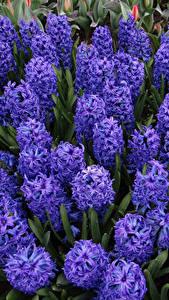 Bilder Hyazinthen Nahaufnahme Violett Blüte