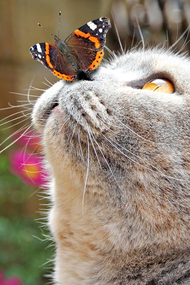 Bilder von Hauskatze Schmetterling Nase graue Schnauze Kopf Tiere 640x960 für Handy Katze Katzen Schmetterlinge Grau graues ein Tier