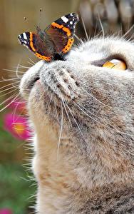デスクトップの壁紙、、飼い猫、チョウ目、動物のスナウト、灰色、鼻、頭、動物