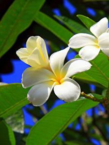 Hintergrundbilder Frangipani Ast Weiß Blattwerk Blumen