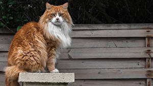 Fotos Katze Bretter Blick Sitzend Tiere