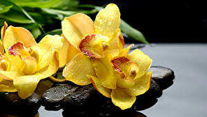 Tapety na pulpit Orchidee Kamień Zbliżenie Żółty Kropli kwiat