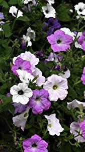 Hintergrundbilder Petunien Nahaufnahme Blüte