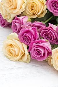 Bilder Rose Großansicht Blüte