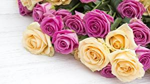 Bilder Rosen Großansicht