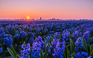 Images Fields Sunrises and sunsets Hyacinths Many Light Blue Sun Flowers