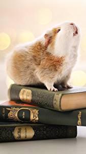 Hintergrundbilder Hausmeerschweinchen Buch Bokeh Tiere
