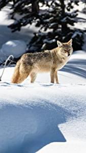 Photo Winter Snow Coyote Animals