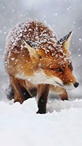 Wallpapers Foxes Snow Snowflakes Animals