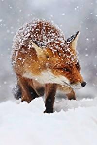 Hintergrundbilder Füchse Schnee Schneeflocken Tiere