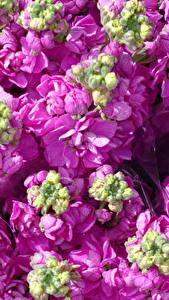 Hintergrundbilder Levkojen Hautnah Rosa Farbe Blütenknospe Blüte