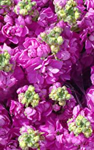Hintergrundbilder Levkojen Großansicht Rosa Farbe Blütenknospe Blumen
