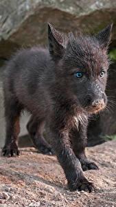 Fondos de Pantalla Lobo Cachorros Contacto visual Negro