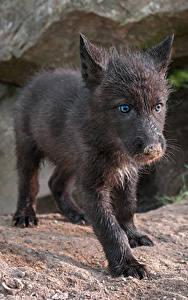 Hintergrundbilder Wolf Jungtiere Blick Schwarz