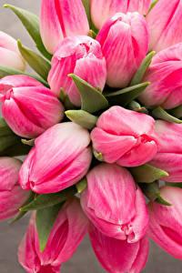 Bilder Tulpen Nahaufnahme Rosa Farbe Blüte