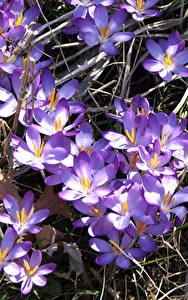Hintergrundbilder Krokusse Viel Großansicht Blumen