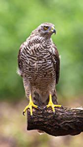 Bilder Habicht Vögel Bokeh Northern Goshawk