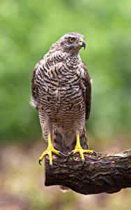 Bilder Habicht Vögel Bokeh Northern Goshawk ein Tier