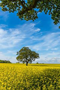 Hintergrundbilder Acker Raps Bäume Ast Natur