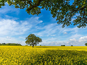 Pictures Fields Oilseed rape Trees Branches