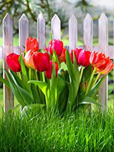 Hintergrundbilder Tulpen Zaun Gras Rot Blüte