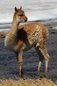 Fotos Chile Fluss Lama Kamel  Tiere