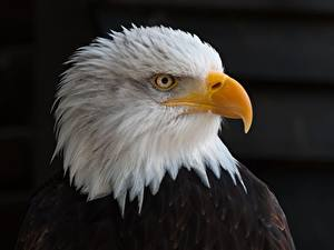 Image Birds Eagles Staring Beak Head Black background Bald Eagle Animals