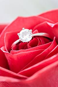 Bilder Großansicht Rosen Makro Brillant Ring