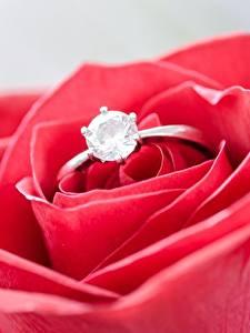 Bilder Großansicht Rosen Makro Brillant Ring Blumen