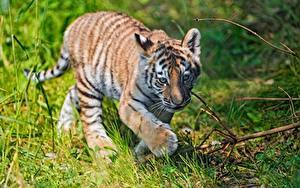 Hintergrundbilder Tiger Jungtiere Pfote Gras Tiere