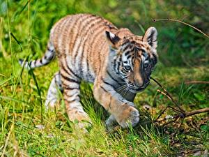 Hintergrundbilder Tiger Jungtiere Pfote Gras