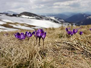 Hintergrundbilder Krokusse Frühling Gras Violett Bokeh Blüte