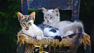 Photo Cat Two Kitty cat Chair Animals