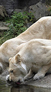 Wallpapers Big cats Lions 2 Drinking water Animals