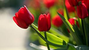 Fotos Tulpen Großansicht Rot Blumen