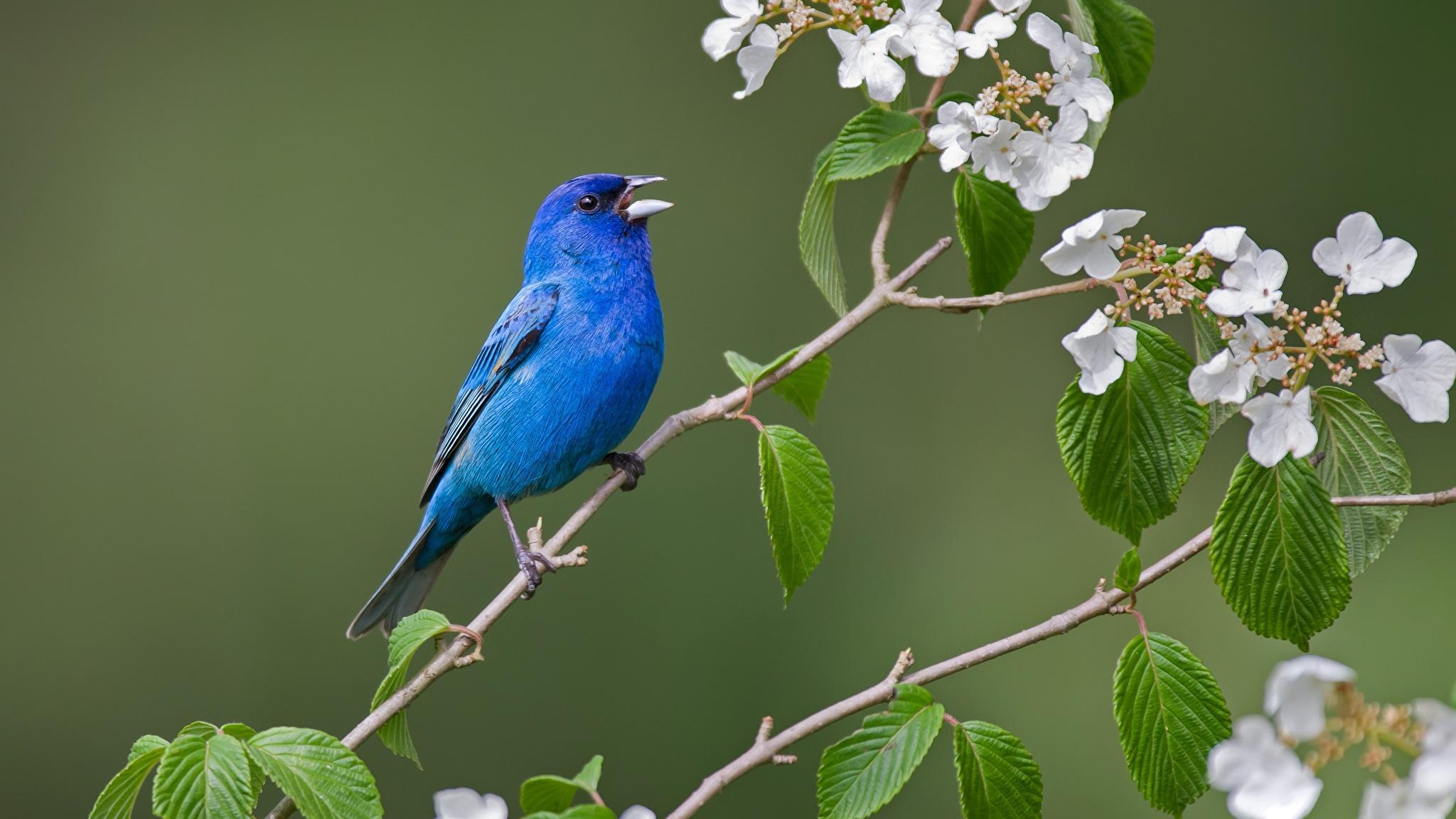 Fotos von Vögel Indigo bunting Blau Ast Tiere 2048x1152