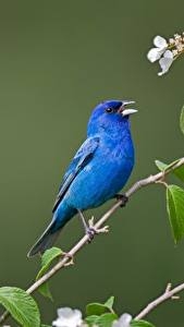 Wallpaper Birds Branches Blue Indigo bunting Animals