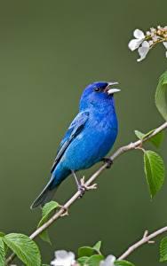 Hintergrundbilder Vögel Ast Blau Indigo bunting ein Tier