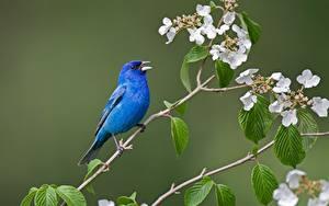Hintergrundbilder Vögel Ast Blau Indigo bunting Tiere