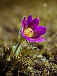 Fotos Kuhschellen Unscharfer Hintergrund Violett Blüte