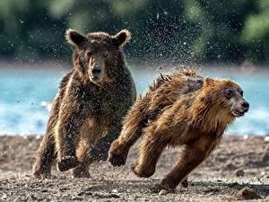 Bilder Bären Braunbär Jungtiere Laufsport 2 Spritzer Tiere