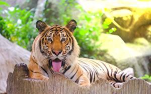 Fotos Tiger Amurtiger Zunge Starren Liegen Tiere