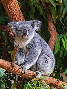 Desktop hintergrundbilder Koalas Ast Tiere
