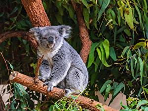 Fotos Koalas Ast Tiere