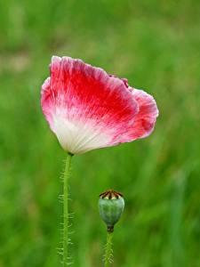 Bakgrunnsbilder Valmuer Nærbilde Uklar bakgrunn Blomst knopp Blomster