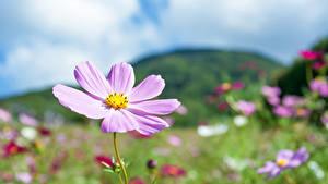 Hintergrundbilder Schmuckkörbchen Unscharfer Hintergrund Rosa Farbe Blüte