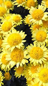 Desktop hintergrundbilder Chrysanthemen Großansicht Gelb Blumen