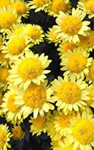 Hintergrundbilder Chrysanthemen Großansicht Gelb Blumen