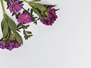 Bilder Inkalilien Chrysanthemen Großansicht Grauer Hintergrund Blumen